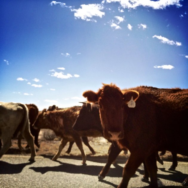 Cattle Drive San Luis Valley