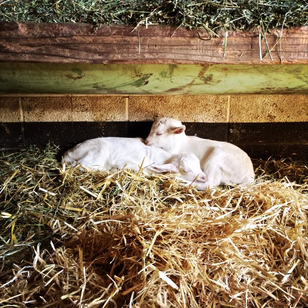 Four Day Old Goat Twins, March 2015