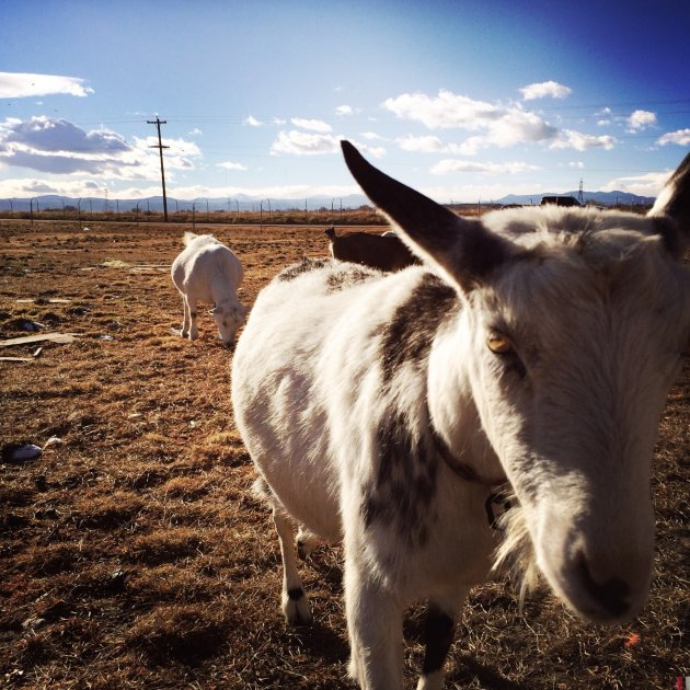 Goats and the Front Range