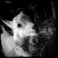 Baby Goat, Broken Shovels Farm