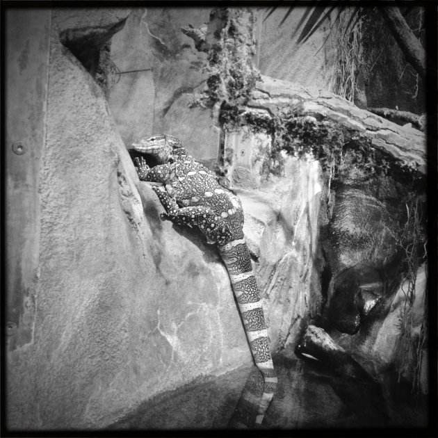 Monitor Lizard, Denver Zoo
