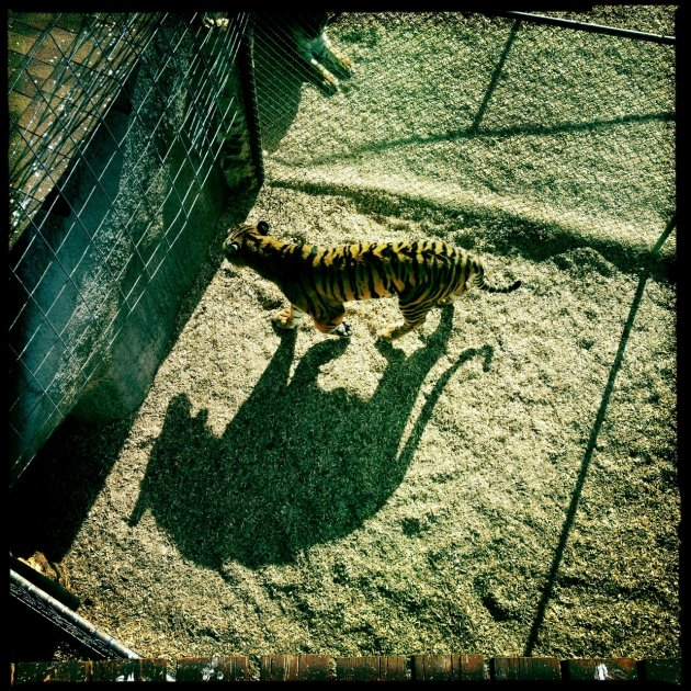 The Tigers Shadow Animals Siobhan Keleher Photography