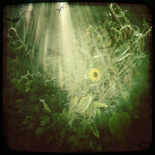 Sunflowers in Sunbeams